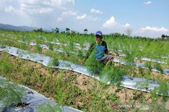 Permintaan besar, petani Temanggung pun kembangkan asparagus