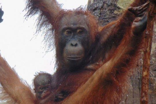 Bayi orangutan Pancaran jadi penghuni baru Suaka Margasatwa Lamandau