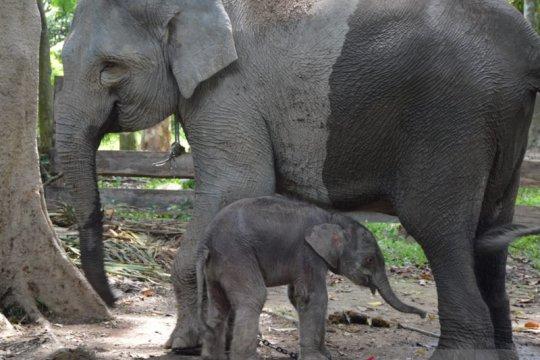 Gajah sumatera jantan lahir di TWA Buluh Cina Riau
