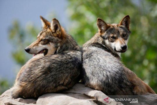 Polisi Prancis tangkap tiga serigala kabur, empat masih di alam liar