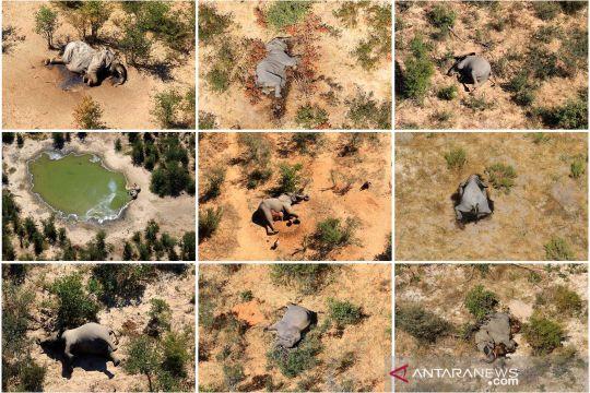 Ratusan gajah afrika mati di Botswana secara misterius