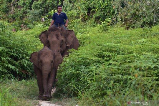Populasi gajah sumatera