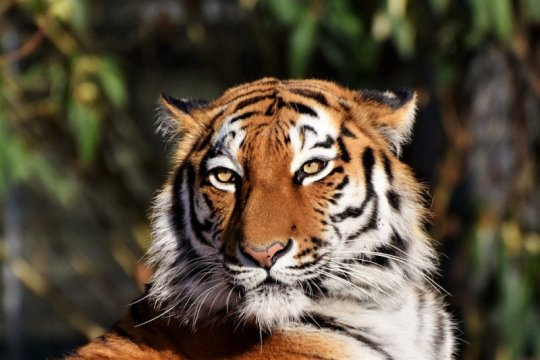 Petugas kebun binatang Swiss tewas diserang harimau Siberia