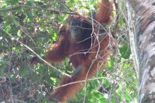 """BBKSDA Sumut lepasliarkan orangutan """"Maria"""" ke TNGL Langkat"""