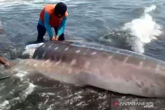 BKSDA Jember imbau warga tidak konsumsi ikan hiu yang terdampar