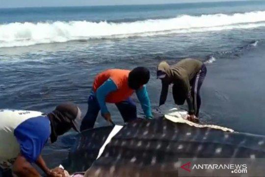 Tiga ekor hiu tutul terdampar di pesisir selatan Jember
