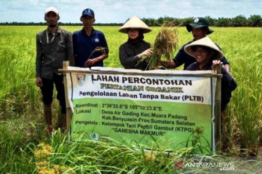 Petani Banyuasin berhasil kembangkan padi hitam di lahan gambut