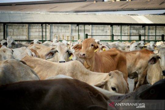 IA-CEPA berlaku, Australia bisa ekspor 575.000 ekor sapi bebas bea