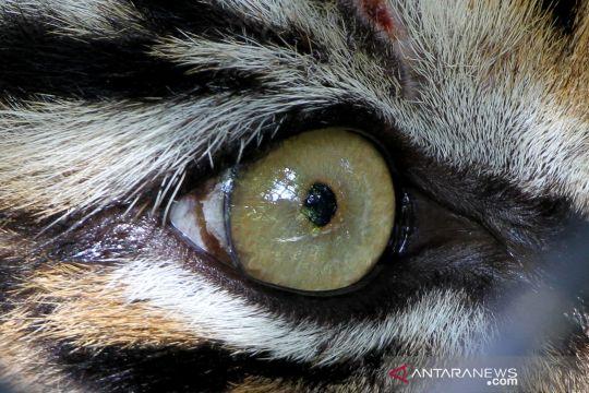 Melihat proses pelepasliaran harimau sumatera di Taman Nasional Gunung Leuser