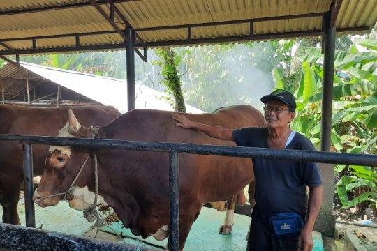 Sapi kurban Presiden Jokowi di Jambi berbobot satu ton lebih