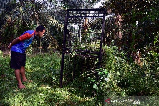 Dua beruang madu masuk ke perkampungan di Riau
