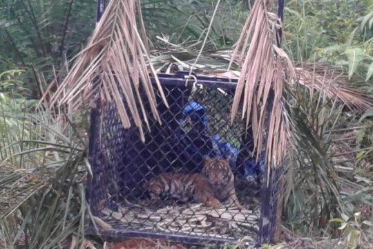 Atasi gangguan harimau di Aceh Tamiang, BKSDA turunkan tim