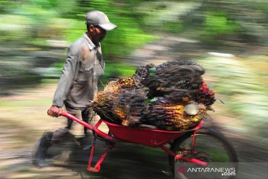 Harga cpo di Jambi amblas Rp156 per kilogram