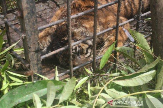 Usai terkam ternak, BKSDA Sumbar tangkap harimau sumatera