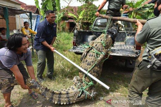 BKSDA Banten tangkap buaya muara di sungai