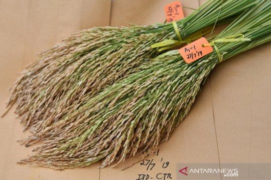 Balitbangtan lepas Biobestari Agritan, padi gogo produktivitas tinggi