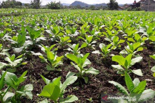 Lahan tanaman tembakau Temanggung turun 4.600 hektare tahun ini