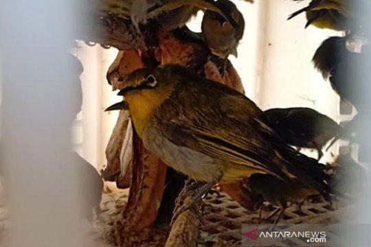 Karantina Pertanian Lampung gagalkan penyelundupan 84 ekor burung liar