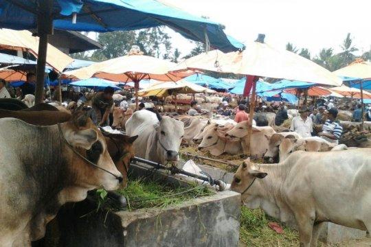 Mudhahhy dilarang sembelih sapi betina produktif untuk kurban