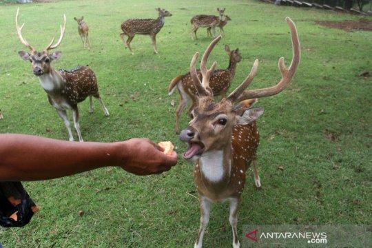 Penangkaran rusa tutul di bekas areal tambang Semen Padang