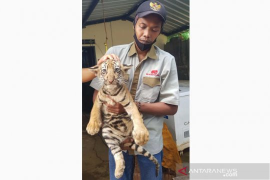 Dua anak harimau benggala tambah koleksi Taman Satwa Semarang