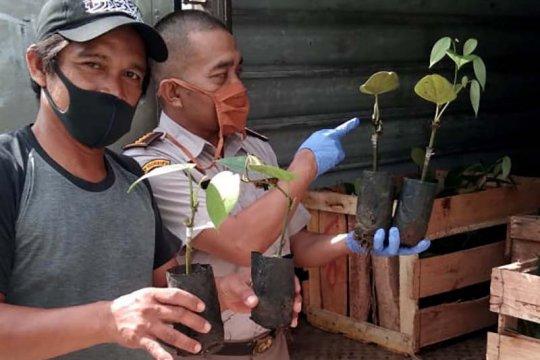Bibit lada asal Cilacap dipasarkan hingga Lampung