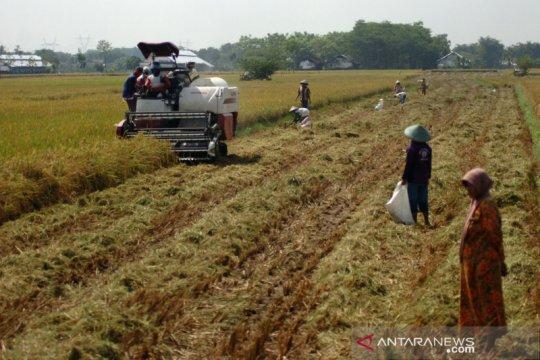 Kementan perluas areal tanam padi 250.000 ha tahun ini