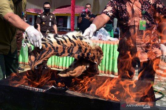 Pemusnahan kulit dan janin harimau Sumatra