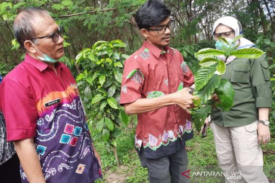 Dinas Pertanian Temanggung kembangkan kebun sumber entres kopi robusta
