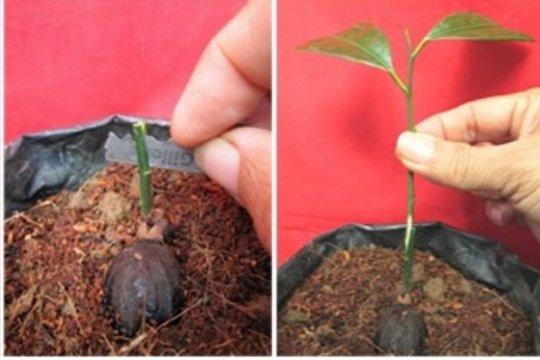Balitbangtan Kementan lakukan teknik perbanyakan benih pala
