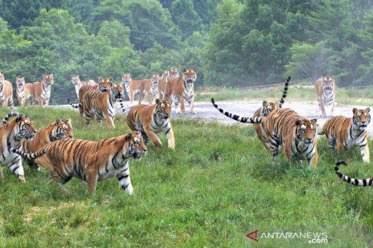 Melihat Taman Harimau Siberia yang dibuka kembali untuk umum