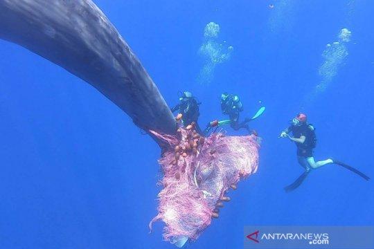 Upaya membebaskan seekor paus sperma dari jeratan jaring ikan nelayan