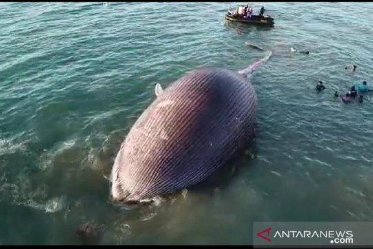 Bangkai paus biru yang terdampar di Kupang diperiksa sebelum dikubur