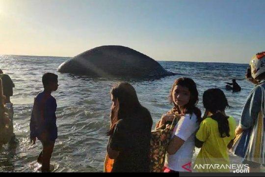 "Laut Sawu disebut sebagai ""kafe"" bagi paus dan lumba-lumba"