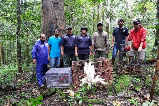 BKSDA Maluku lepasliarkan satwa liar endemik
