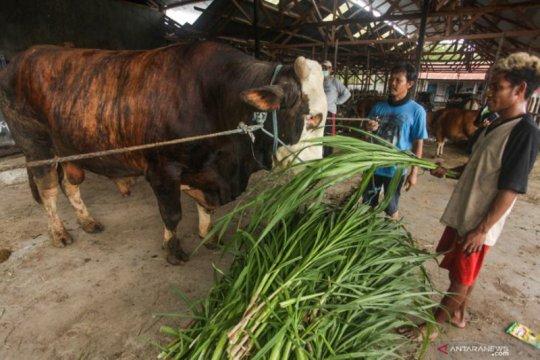 Presiden Jokowi siapkan sapi kurban berbobot 1,3 ton untuk Kalteng