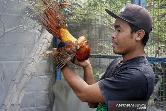 Budidaya ayam pheasant Yogyakarta