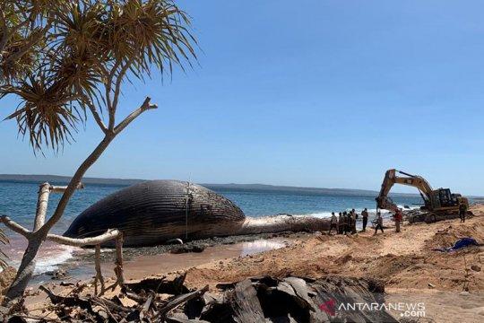 Paus biru 29 meter yang mati terdampar di Kupang dikuburkan
