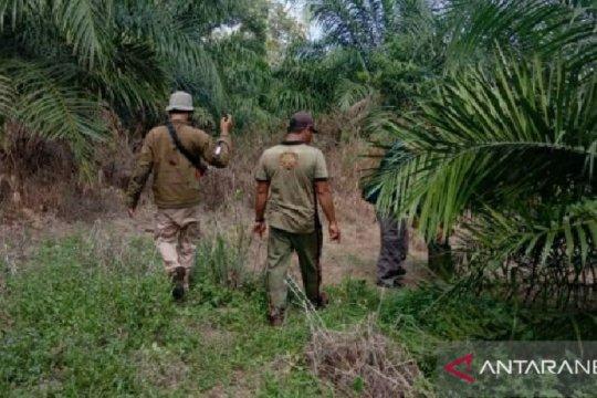 BKSDA Bengkulu pasang perangkap untuk tangkap harimau pemangsa ternak
