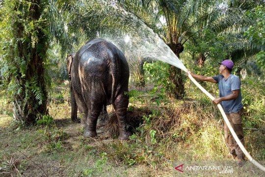 Gajah terakhir di Rohil Riau dievakuasi cegah konflik dengan manusia
