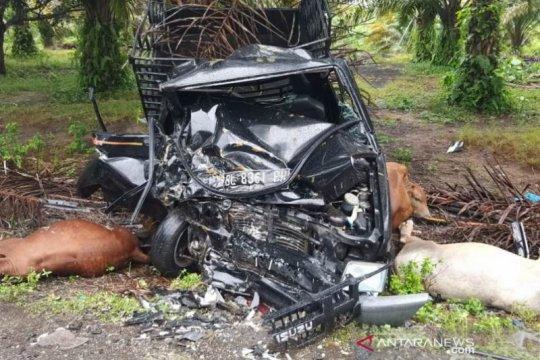 Tabrak pick up pengangkut sapi, dua warga Aceh Jaya tak sadarkan diri
