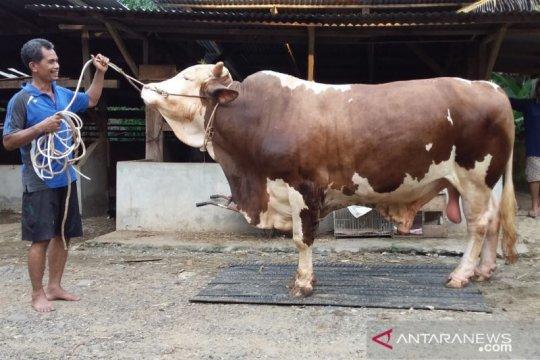 Sapi dari Jokowi seberat 847 Kg siap dikirim ke Kabupaten Lebong