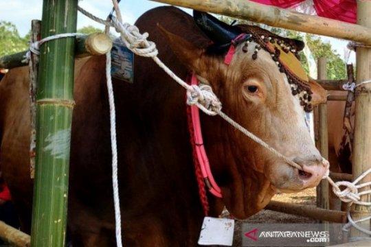PT Timah sebar 193 sapi kurban di tiga provinsi