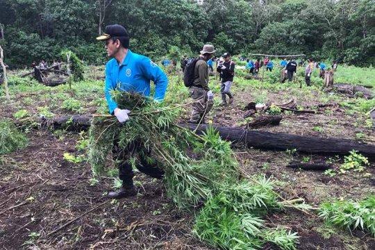 BNN musnahkan 30 ribu batang tanaman ganja di Aceh Besar