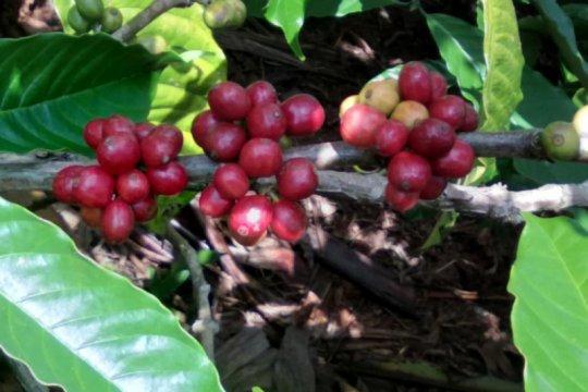 Petani kopi robusta Tanggamus Lampung bertahan di tengah pandemi