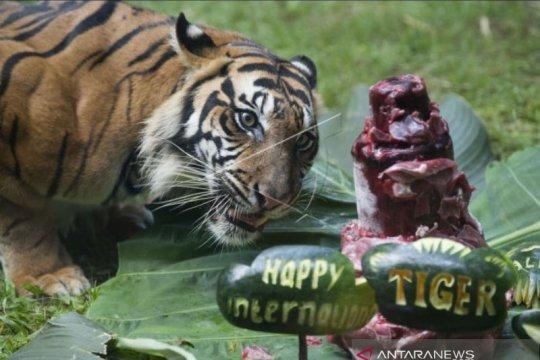 """Bali Zoo rayakan """"International Tiger Day"""""""