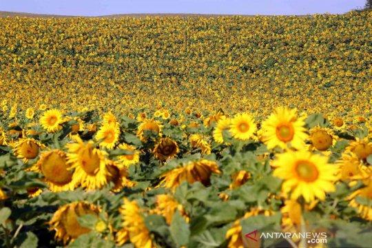 Ladang Bunga Matahari di Jerman