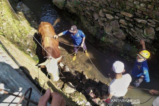 Seekor sapi akan dikurbankan terperosok ke parit di Bandung