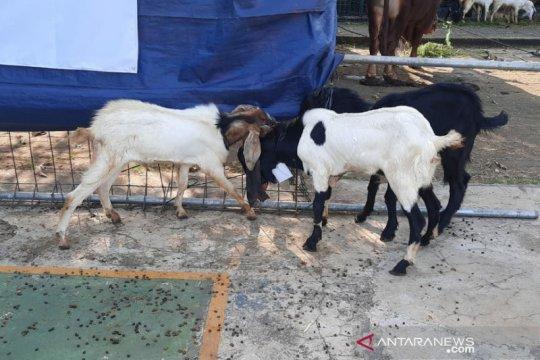 Yayasan Pesantren Al Azhar terima 956 hewan kurban Idul Adha 1441H