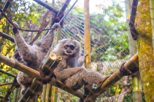 Lestarikan lingkungan, Pertamina EP habituasi sepasang Owa Jawa